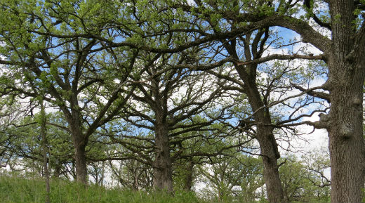 Oak Savannah